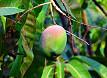 Frutto mango