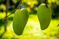 Esemplare mango verde