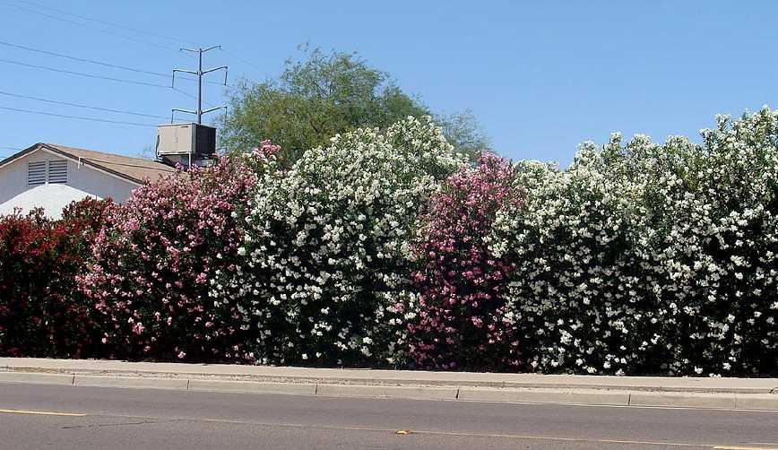 oleandro oleandri : Aiuole arbusti oleandri