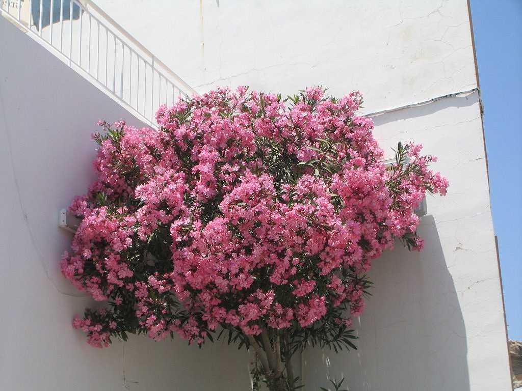 Alberi con fiori bianchi profumati passaggio in india for Fiori bianchi profumati
