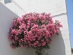 Oleandro - arbusto ornamentale