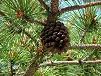 Pigna e pinoli albero pino
