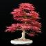 Acerum palmatum