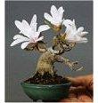 Albero bonsai con fiori