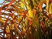 Foglie pianta bambù