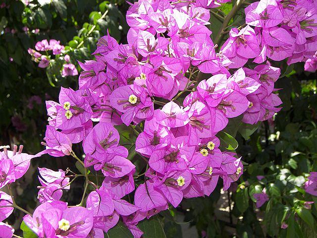 Il bouganville bougainvillea for Arredo giardino piante