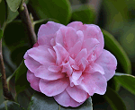 Fiore camelia maliflora