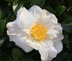 Fiore camelia sasanqua