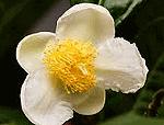 Fiore camelia sinensis