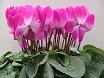 Fiori ciclamini rosa
