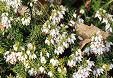 Fiori bianchi erica