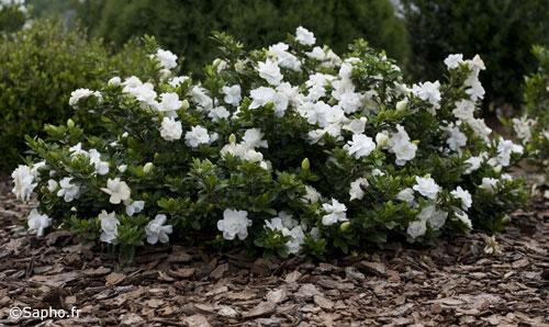 Gardenia come coltivarla trapiantarla e concimarla - Gardenia pianta da giardino ...