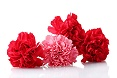 Garofani rossi e rosa