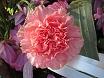 Fiore garofano rosa