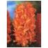 Giacinto o Hyacinthus