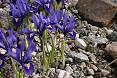 Specie iris reticulata
