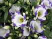 Peonie fiori lisianthus sfumati