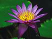 Ninfea colore lilla