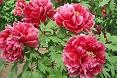 Peonie fiori rossi