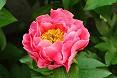 Fiore peonia rosa