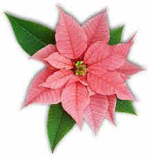 Stella Di Natale Origini.Stella Di Natale Euphorbia Pulcherrima