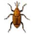 Punteruolo rosso o Rhynchophorus ferrugineus