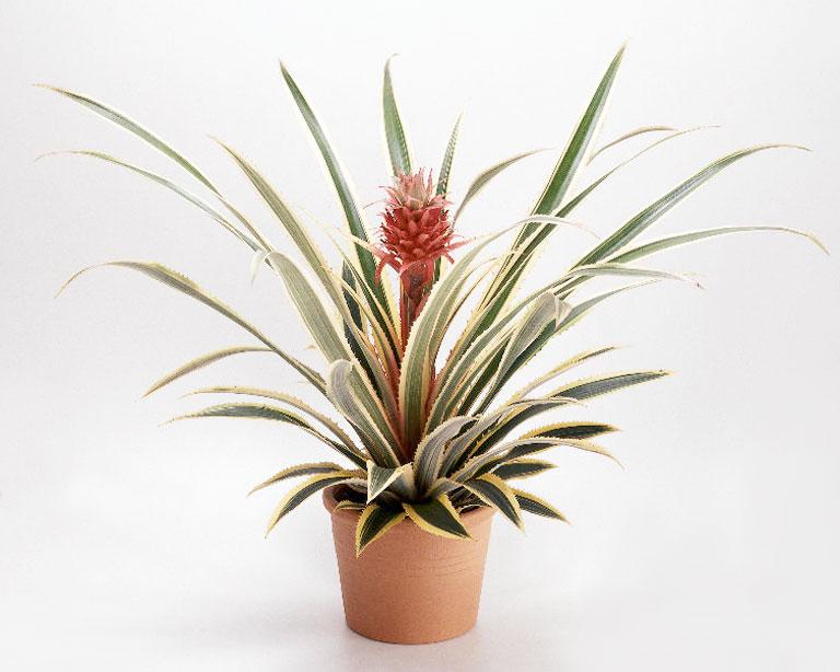 Tipi e coltivazione dell 39 ananas for Pianta ananas