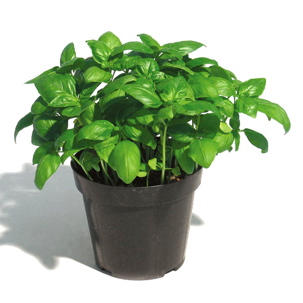 coltivazione e caratteristiche del basilico