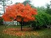 Albero cachi in autunno
