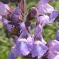 Salvia officinalis fiore