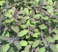 Salvia officinalis purpurascen