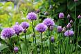 Fiori piante erbe cipolline
