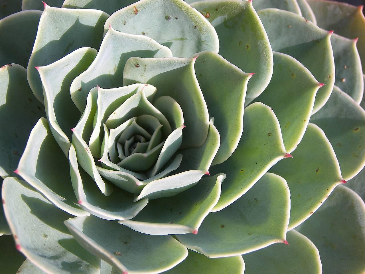 Echeveria, Pianta grassa echeveria crassulaceae