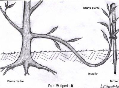 Disegno-immagine di una ridpoduzione col metodo della propaggine, anche detta talea assistita